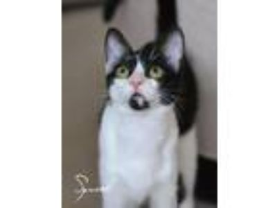 Adopt Squirt a Black & White or Tuxedo Domestic Shorthair / Mixed (short coat)