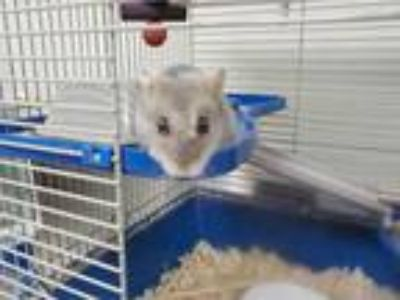 Adopt TINY a Silver or Gray Hamster / Mixed small animal in Minneapolis