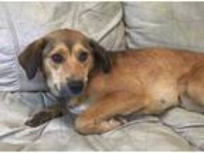 Adopt Ariel a Red/Golden/Orange/Chestnut Mixed Breed (Medium) / Mixed dog in