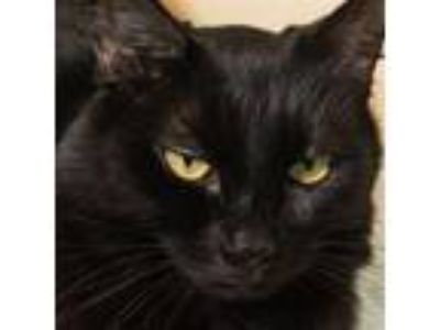 Adopt MIA a All Black Domestic Mediumhair / Mixed (medium coat) cat in Methuen