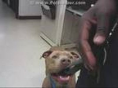 Adopt MANNY a Tan/Yellow/Fawn - with White American Pit Bull Terrier / Mixed dog