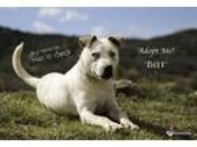 Adopt Bolt a Australian Cattle Dog / Blue Heeler