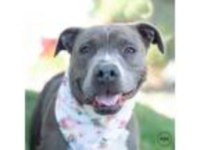 Adopt Minnie Mouse a Pit Bull Terrier