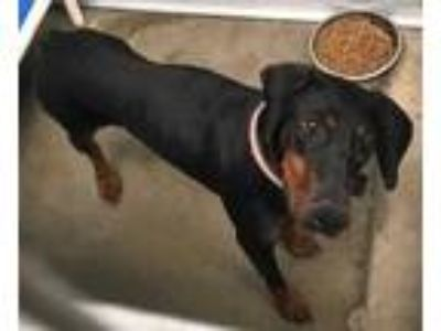 Adopt Bella a Black Doberman Pinscher / Mixed dog in Selma, CA (25476204)