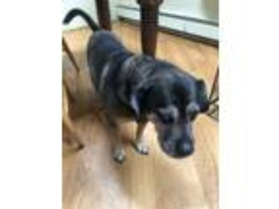Adopt Rocky a Brown/Chocolate - with Black German Shepherd Dog / Fila Brasileiro