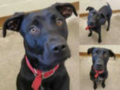 Adopt BLACK JACK a Black - with White Labrador Retriever / Mixed dog in Texas
