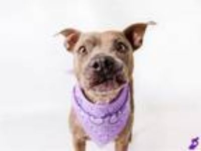 Adopt MAGENTA a Pit Bull Terrier, Mixed Breed