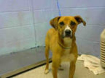 Adopt BELLA a Brown/Chocolate - with White Labrador Retriever / Mixed dog in