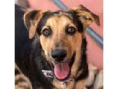 Adopt Todd a Catahoula Leopard Dog / Shepherd (Unknown Type) / Mixed dog in