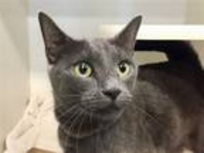 Adopt Lady Anne a Domestic Shorthair / Mixed (short coat) cat in New York
