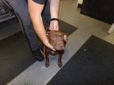 Adopt Marcus a Brown/Chocolate Labrador Retriever / Mixed dog in WILSON