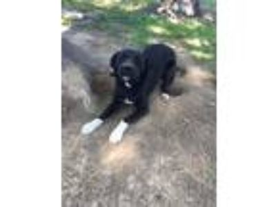 Adopt Keke a Black - with White Akita / Labrador Retriever dog in Covington