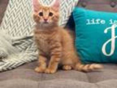 Adopt Thor a Orange or Red (Mostly) Domestic Longhair / Mixed (long coat) cat in
