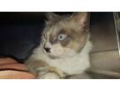 Adopt SPRITZER a Snowshoe, Domestic Short Hair