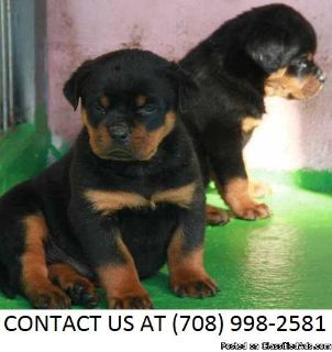 Giving M/F Rottweiler Pups Available For Sale