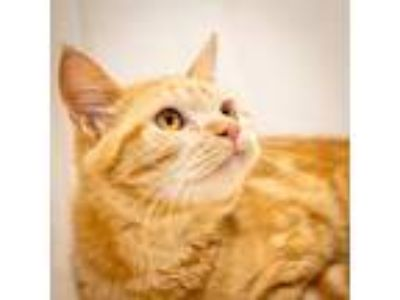 Adopt James-81536 a Orange or Red Domestic Shorthair cat in Las Cruces