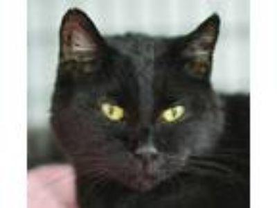 Adopt Morticia a All Black Domestic Shorthair / Domestic Shorthair / Mixed cat