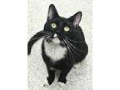 Adopt Link a All Black Domestic Shorthair / Domestic Shorthair / Mixed cat in