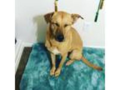 Adopt Chloe a Tan/Yellow/Fawn Labrador Retriever / German Shepherd Dog / Mixed