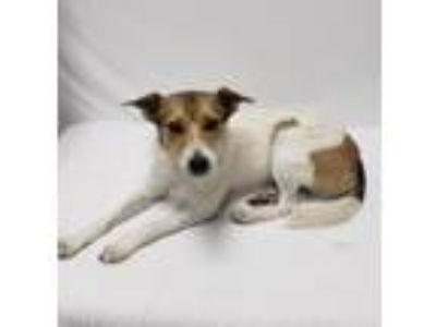 Adopt Chloe Jane a White - with Brown or Chocolate Rat Terrier / Mixed dog in
