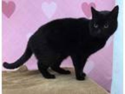 Adopt Hattie a All Black Domestic Shorthair / Domestic Shorthair / Mixed cat in