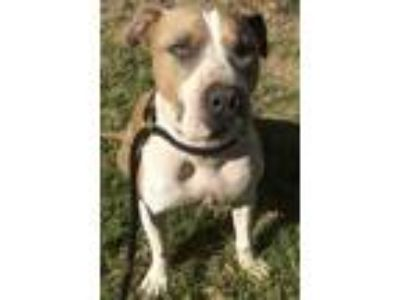 Adopt TANNER a American Staffordshire Terrier, Labrador Retriever