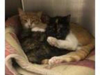 Adopt Cheese a Orange or Red Domestic Shorthair / Domestic Shorthair / Mixed cat