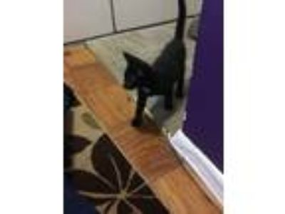 Adopt Nixon a Black (Mostly) American Shorthair cat in Hyattsville