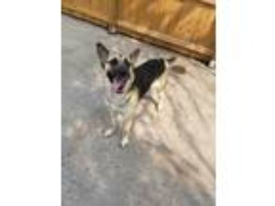Adopt Gadget a German Shepherd Dog