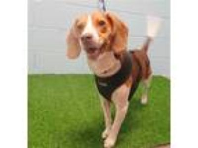 Adopt LEO a Brown/Chocolate - with White Beagle / Mixed dog in St.