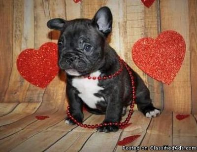bright French bulldog puppies ready now