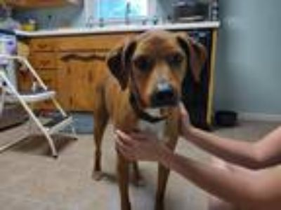 Adopt Mowgli a Brown/Chocolate - with White Rhodesian Ridgeback / Labrador