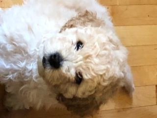 Shih-Poo-Cockapoo Mix PUPPY FOR SALE ADN-75954 - Adorable Cockapoo and Shihpoo Mix Puppies