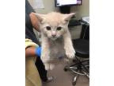 Adopt Genesis a Cream or Ivory Domestic Shorthair / Domestic Shorthair / Mixed