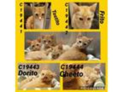Adopt Cat Cage 13 a Domestic Shorthair / Mixed cat in Greenville, TX (25582566)