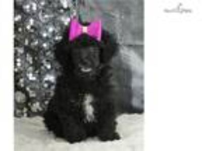 Sparkle Adorable Toy Poodle Puppy Ready to go!