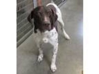 Adopt 41678129 a German Shorthaired Pointer