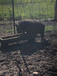 Male Potbelly Pig