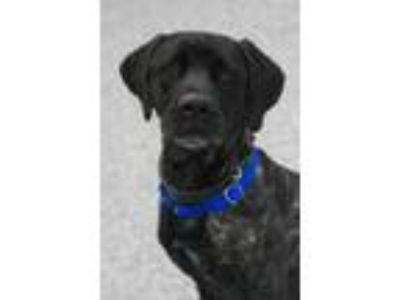 Adopt Giuseppe a Brown/Chocolate Cane Corso / Mixed dog in Georgetown