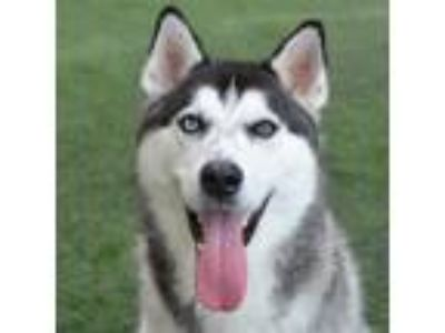 Adopt Baloo a Black - with White Husky / Mixed dog in Burlingame, CA (25661058)