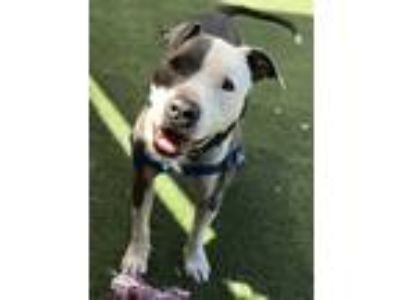 Adopt King a American Pit Bull Terrier / Mixed dog in Oceanside, CA (25858247)