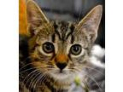 Adopt Cecil (Tab Litter) a Brown or Chocolate Domestic Shorthair / Domestic