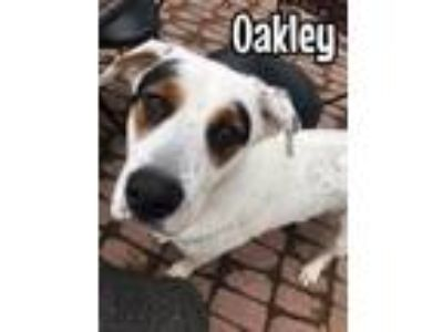 Adopt Oakley a Cattle Dog, Pit Bull Terrier