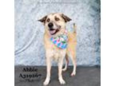 Adopt ABBIE a German Shepherd Dog, Mixed Breed