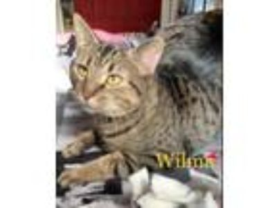 Adopt Wilma a Domestic Short Hair