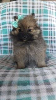 Pomeranian PUPPY FOR SALE ADN-105079 - Lia the Pomeranian