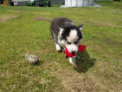 Siberian Husky PUPPY FOR SALE ADN-89982 - Charlie Siberian Husky