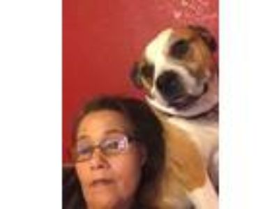 Adopt Buddy a Tricolor (Tan/Brown & Black & White) Boxer / Pug / Mixed dog in