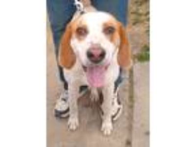 Adopt AJ a White - with Tan, Yellow or Fawn Great Dane / Hound (Unknown Type) /