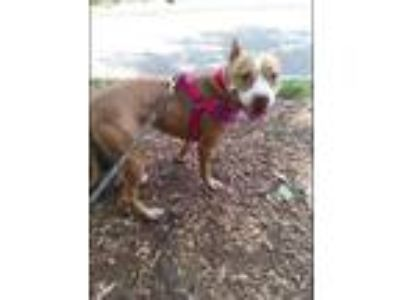 Adopt Fendi a Pit Bull Terrier, Mixed Breed
